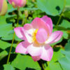 大賀蓮(オオガハス)祭りが、7/3に千葉県君津市久留里で開催します。ハスの花は今が見頃です。