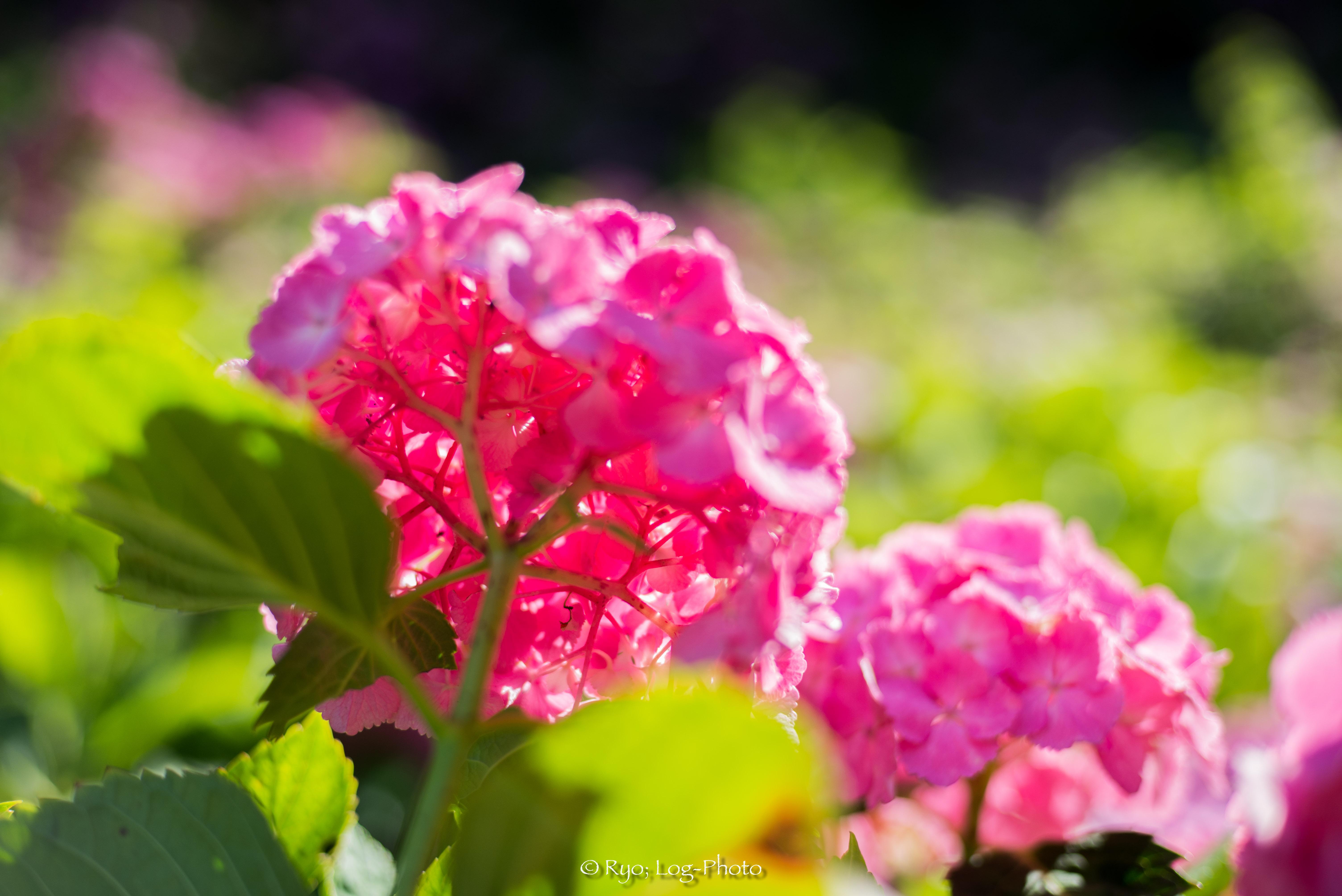 あじさいの花の裏側