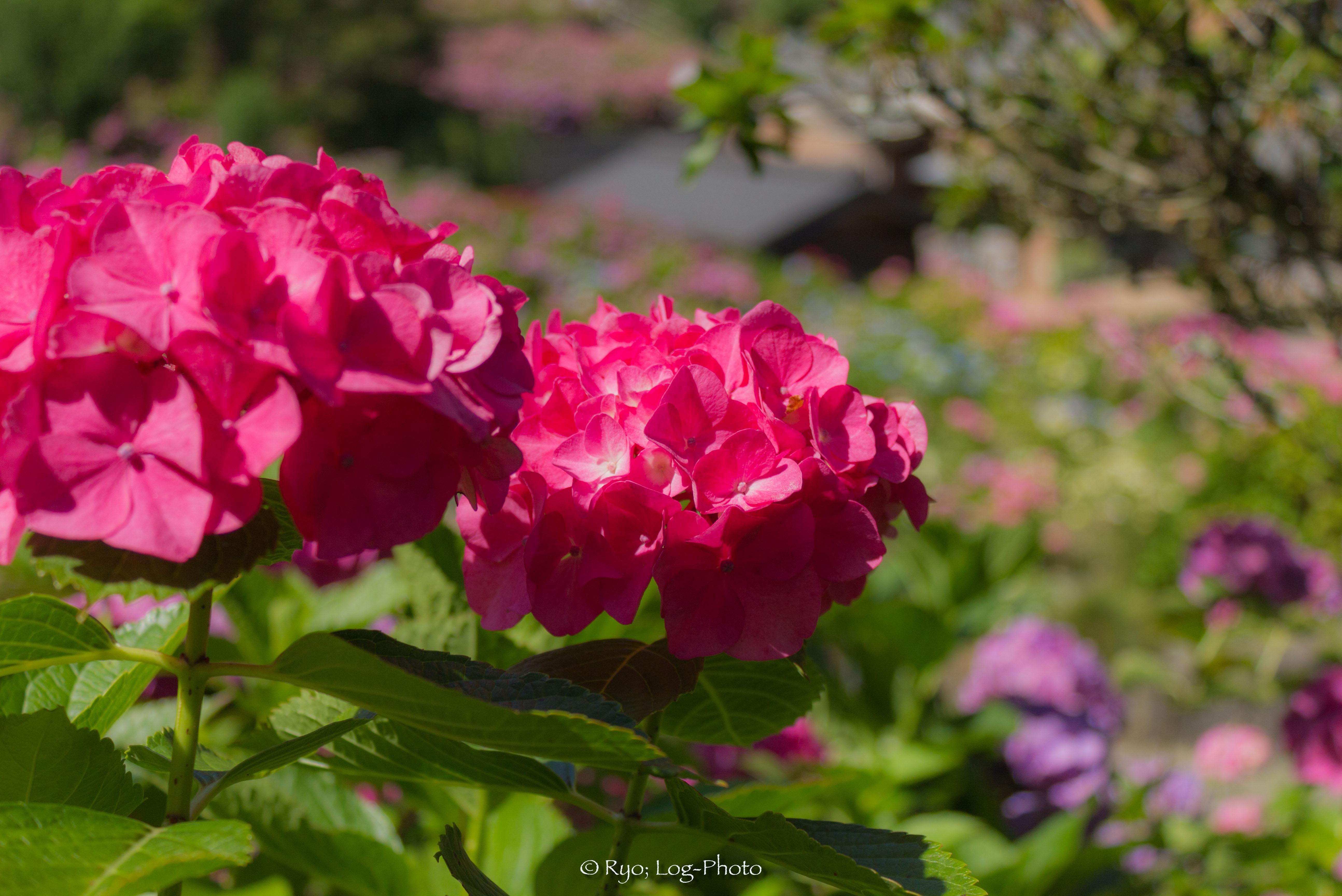真っ赤なバラのよう