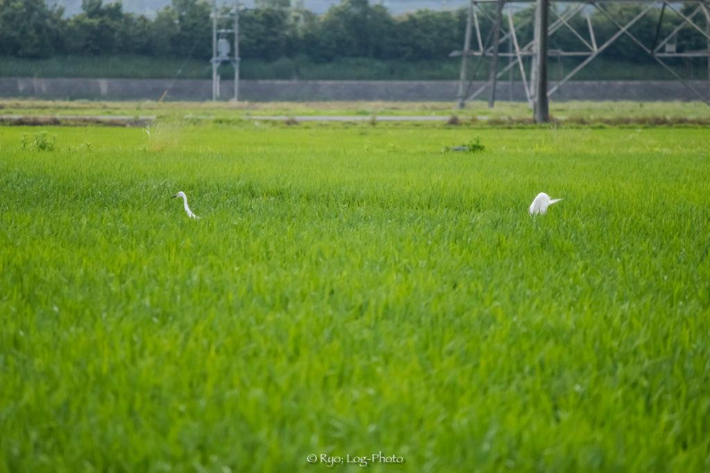田植え シラサギ 千葉