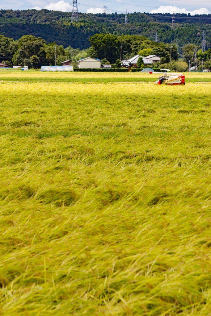 稲刈り、燃やした匂いが季節を感じる