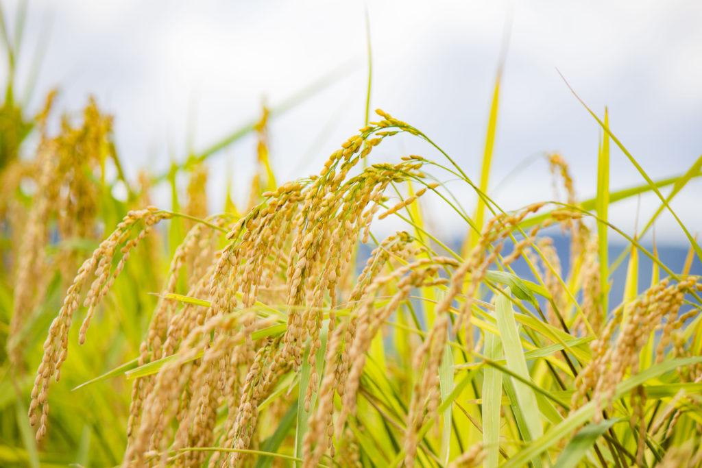 稲刈り 米 黄金 コシヒカリ