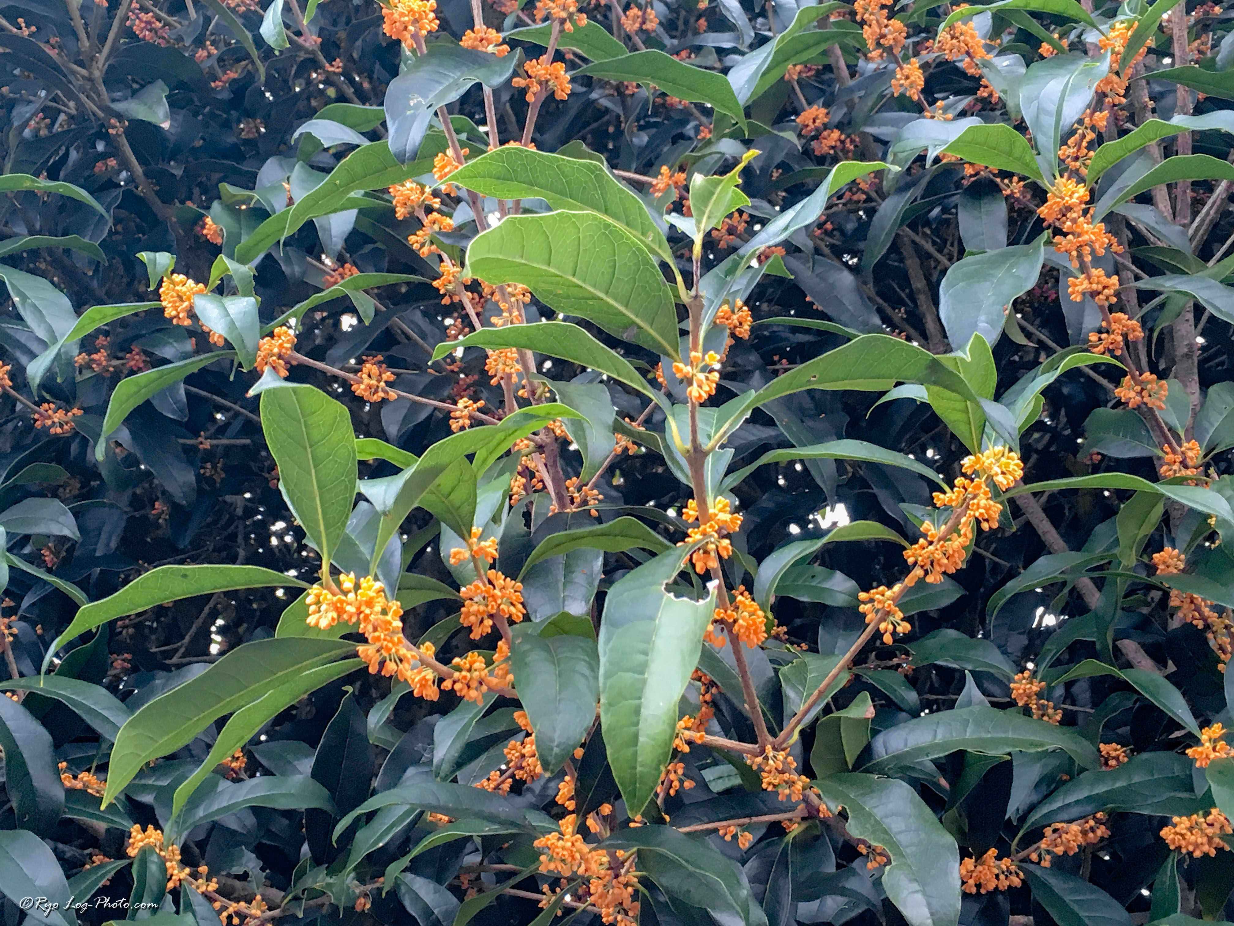 キンモクセイ 金木犀 香り