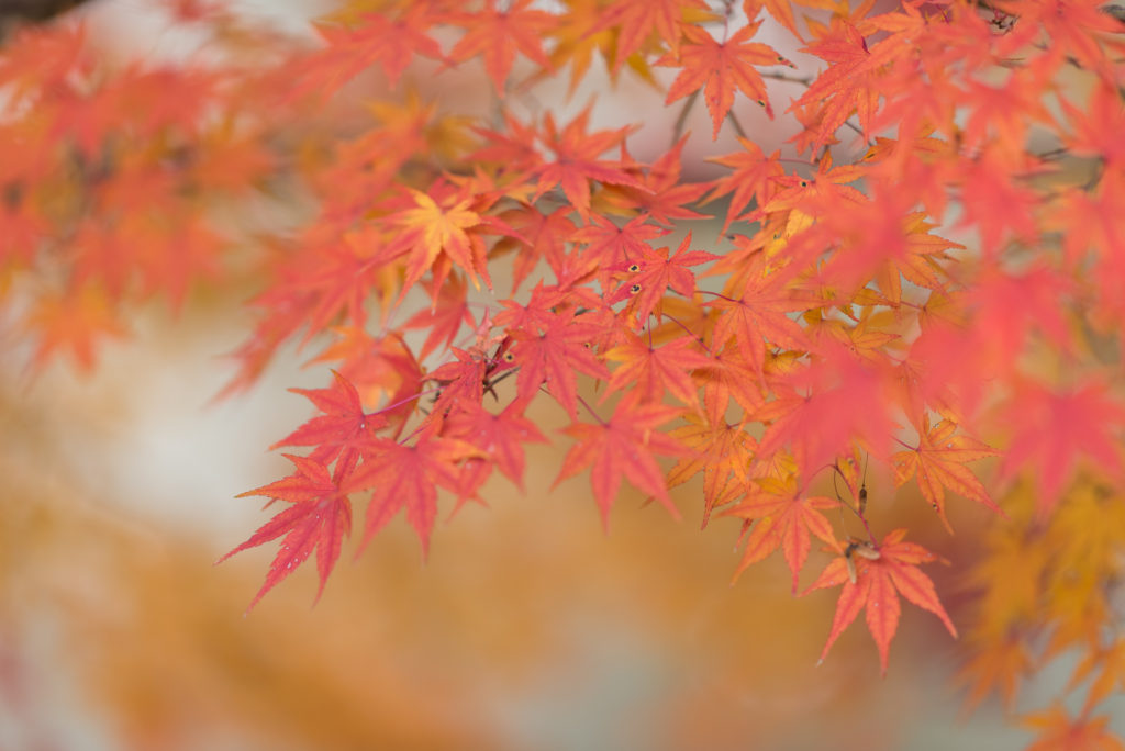 千葉亀山湖紅葉 105mm 1.4e