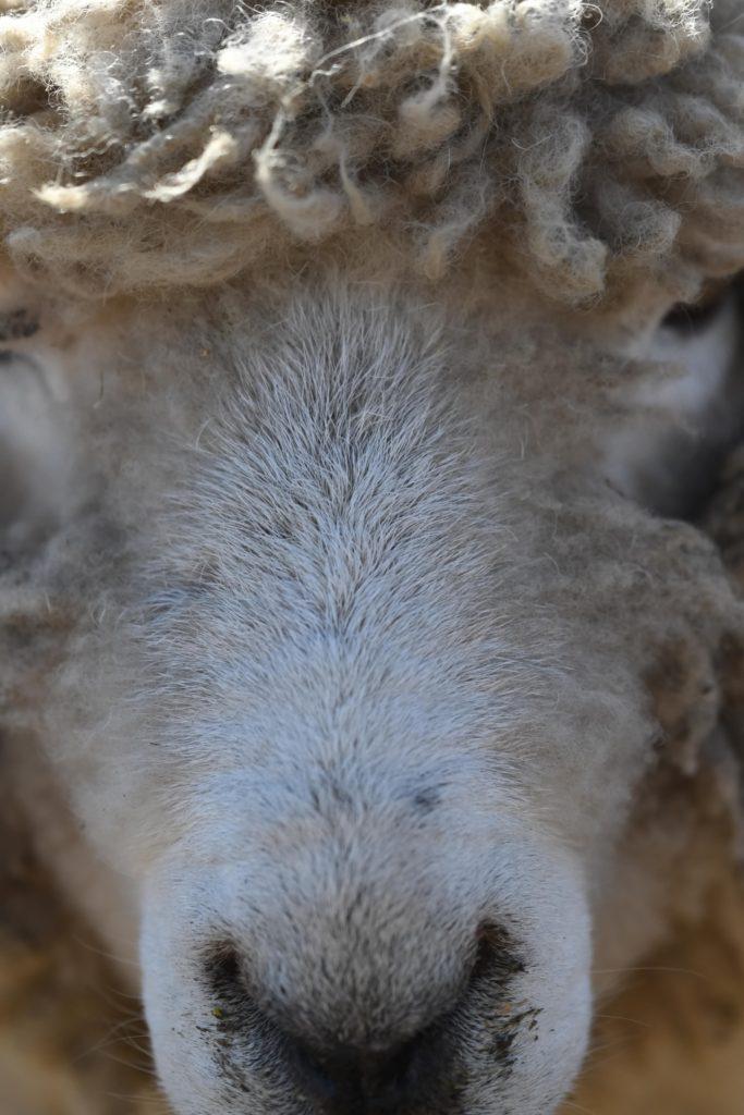 マザー牧場 ふれあい 羊 ひつじ