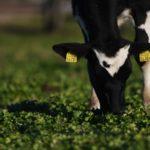 マザー牧場 ふれあい 乳搾り 牛