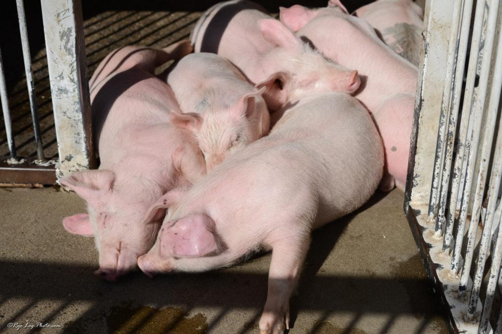 子豚レース マザー牧場