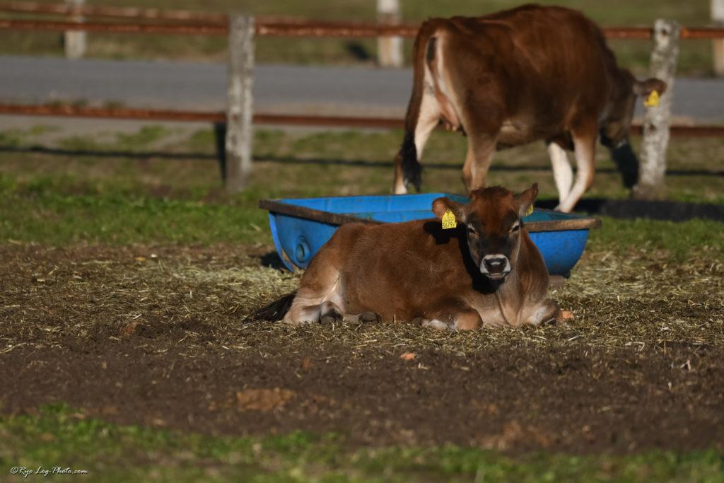 マザー牧場 牛