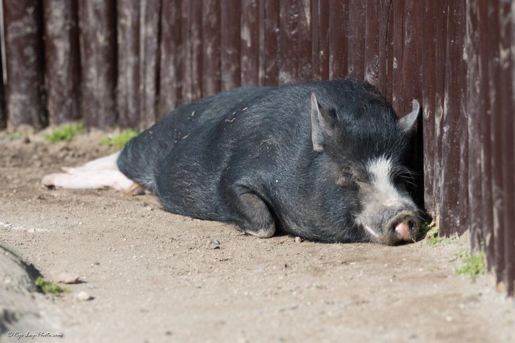 豚 マザー牧場 寝てる