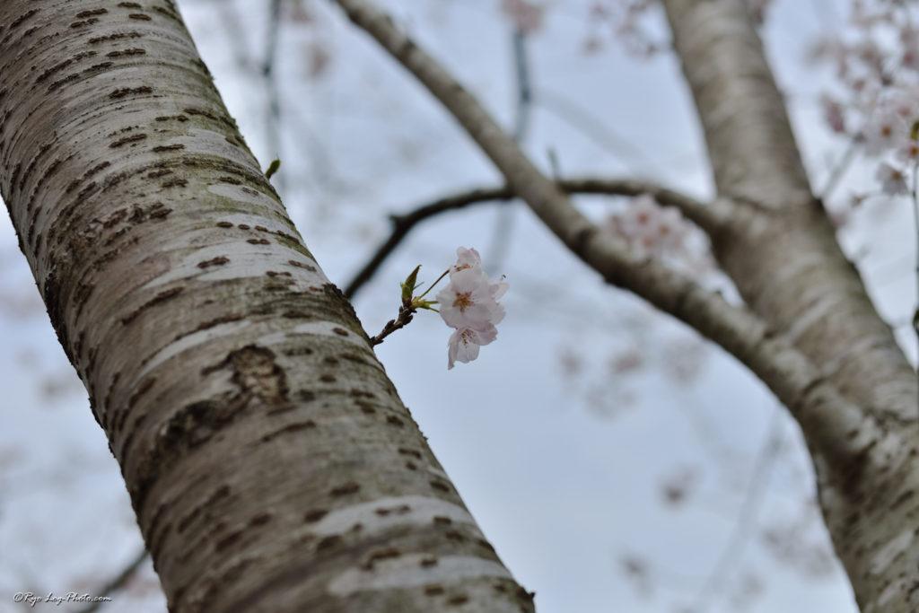 千葉 桜 花見 霊園 久留里