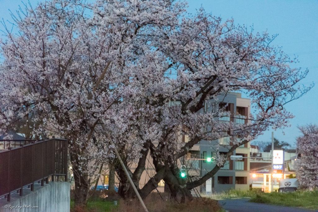 二子玉川 満開 桜