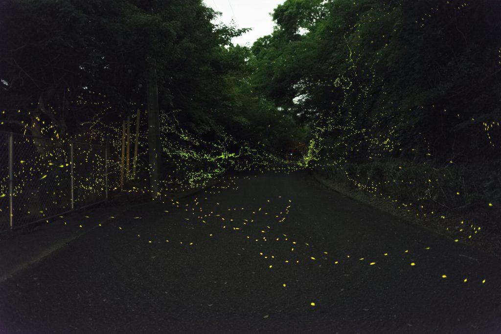 ヒメボタル 内浦山 鴨川市
