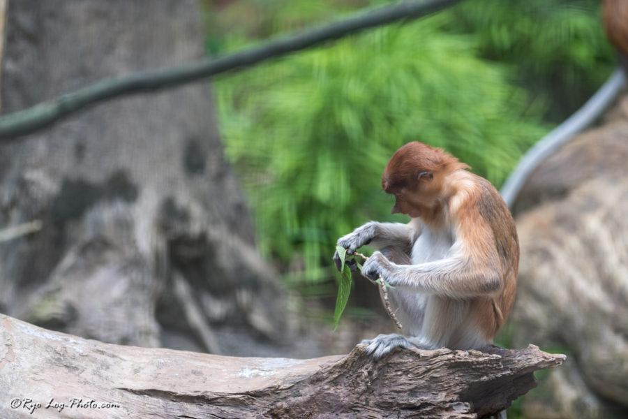 テングザル ズーラシア 猿
