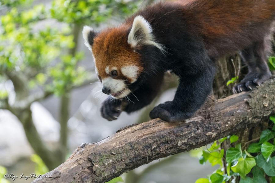 ズーラシア レッサーパンダ アライグマ