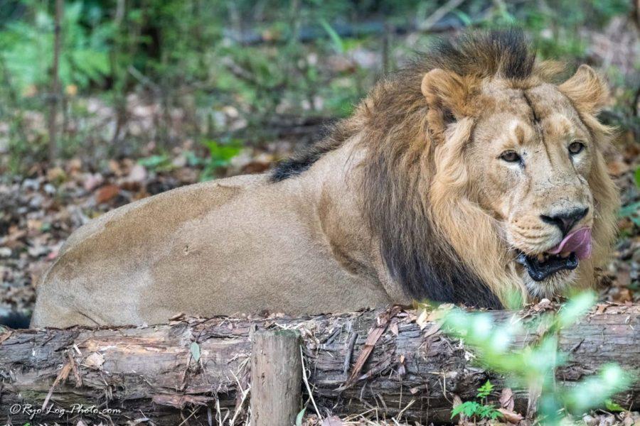 ライオン ズーラシア