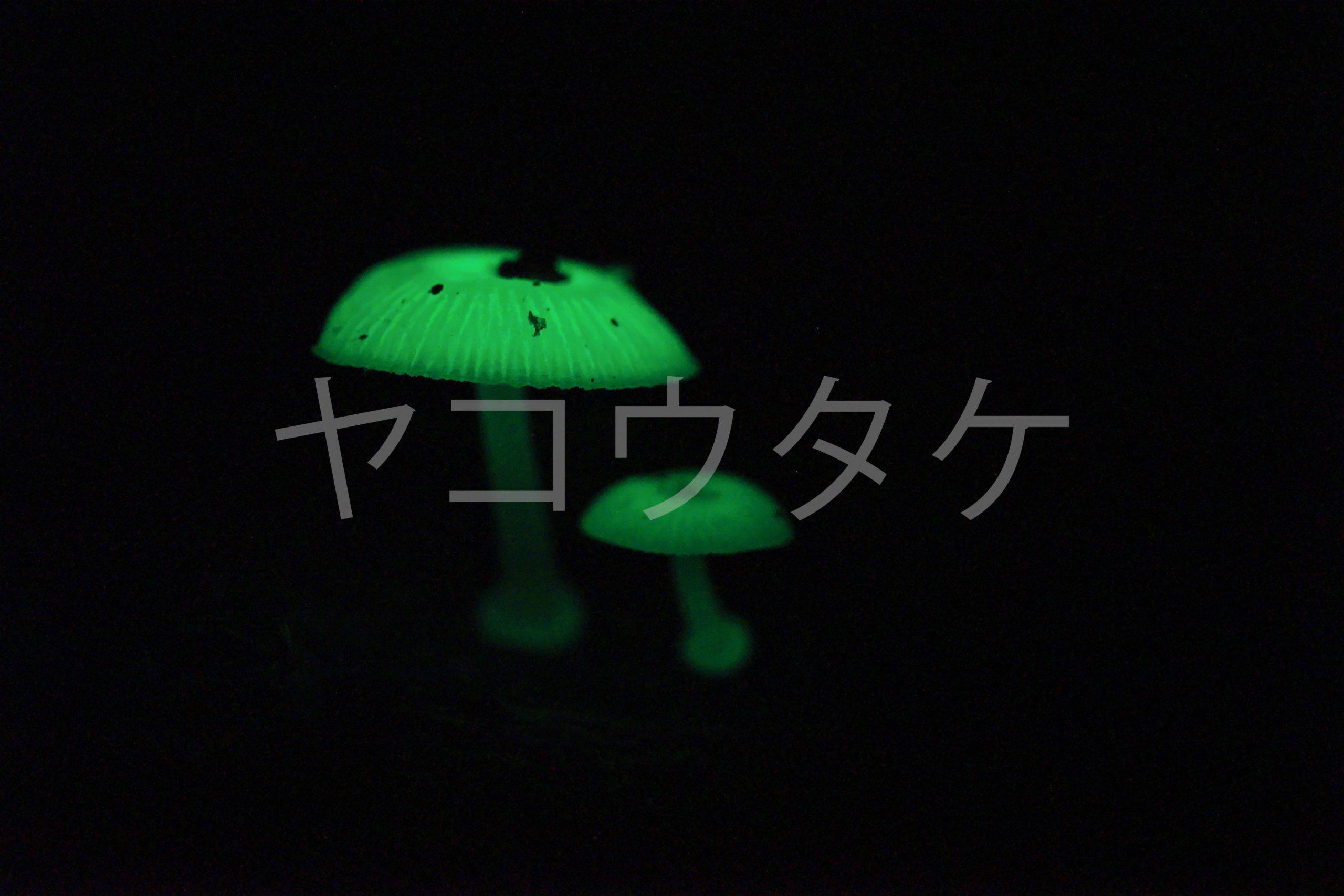 ヤコウタケ 千葉県