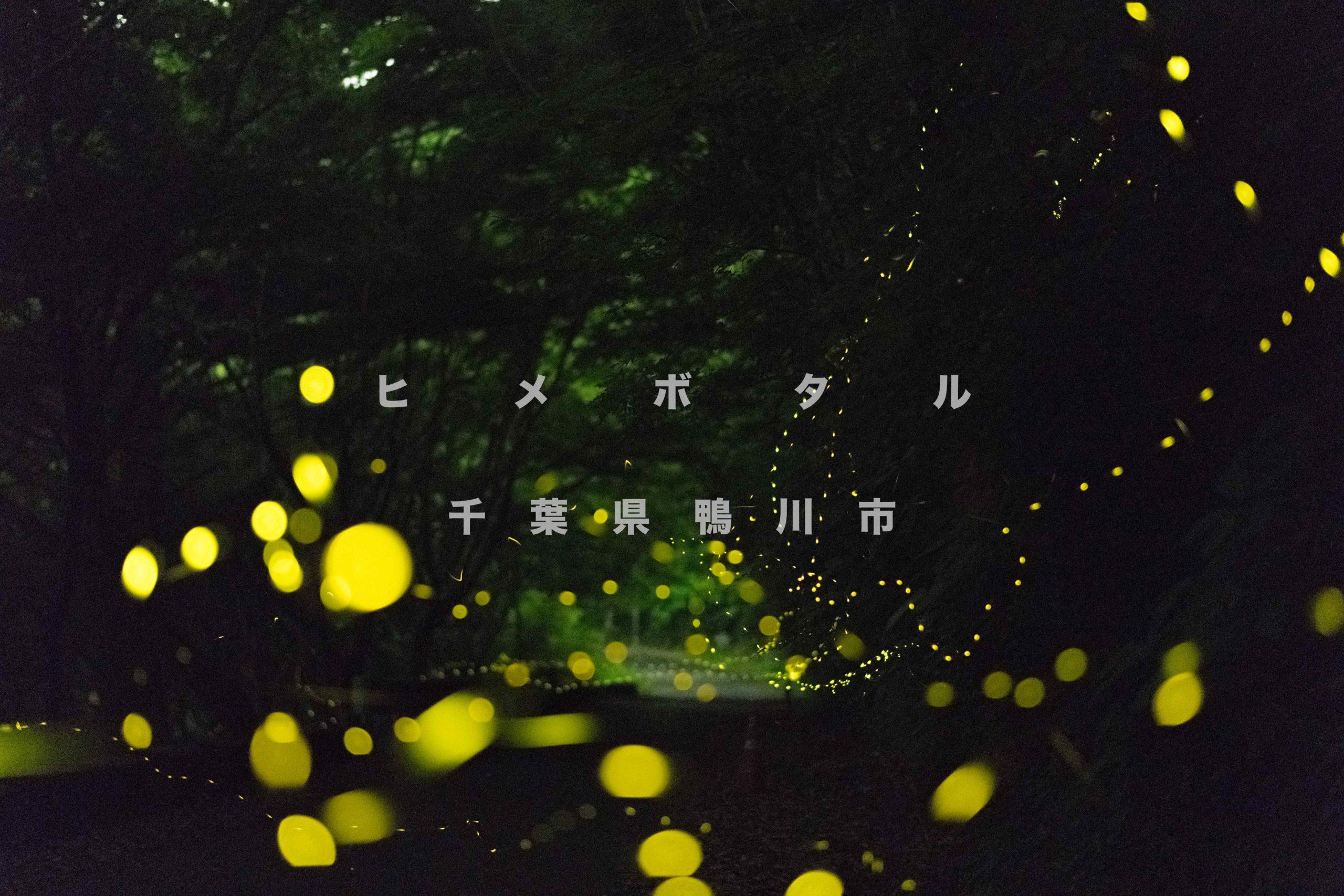 ヒメホタル, 写真, 千葉, 鴨川