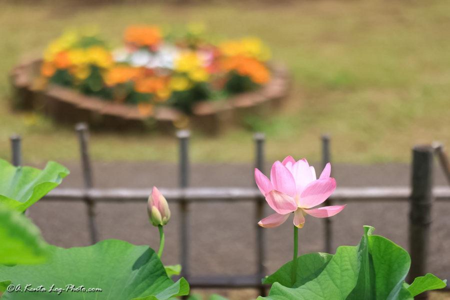 千葉公園 大賀ハス 蓮 昼 Canon R5 135mm 1.8