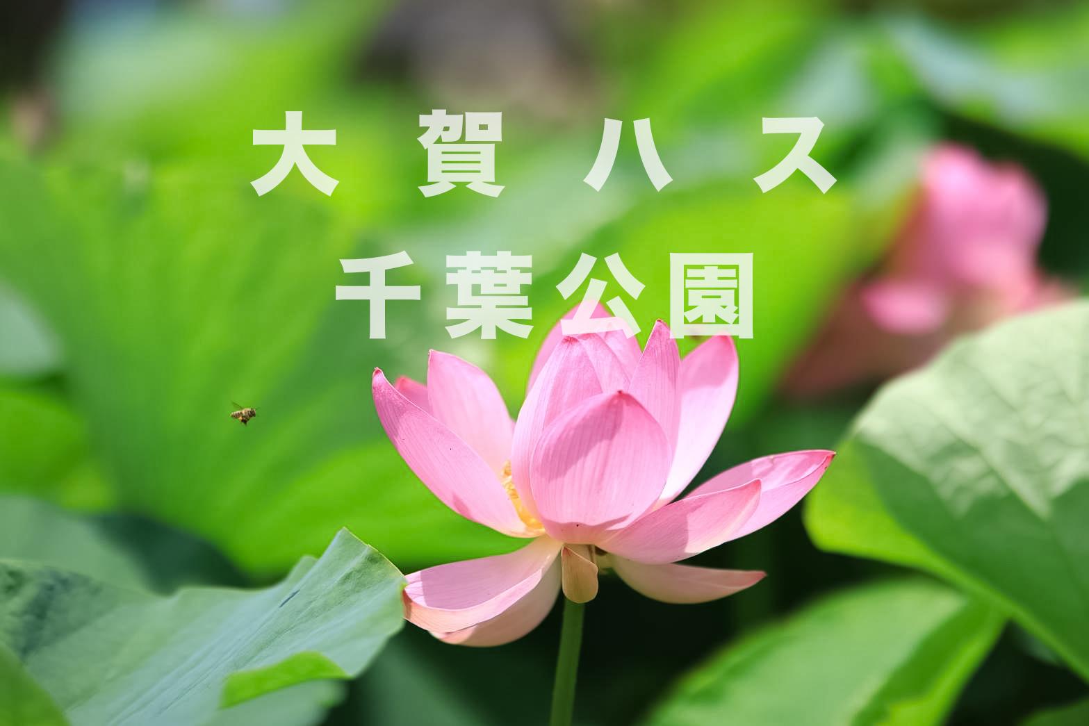 千葉公園 大賀ハス