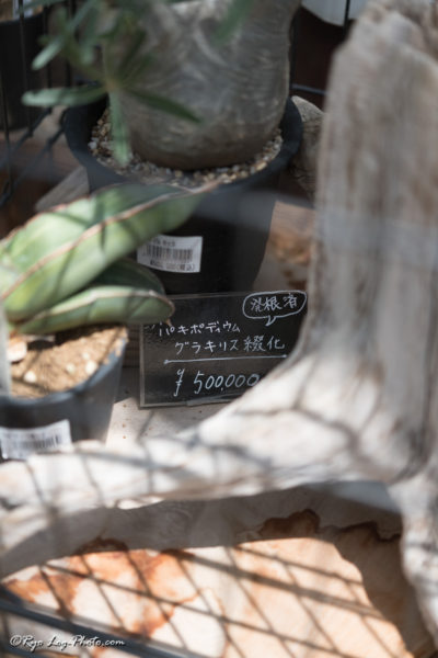 パキポディウムグラキリス レア 千葉