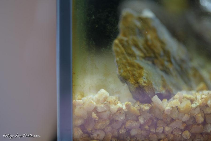 アクアリウム 苔 掃除 魚