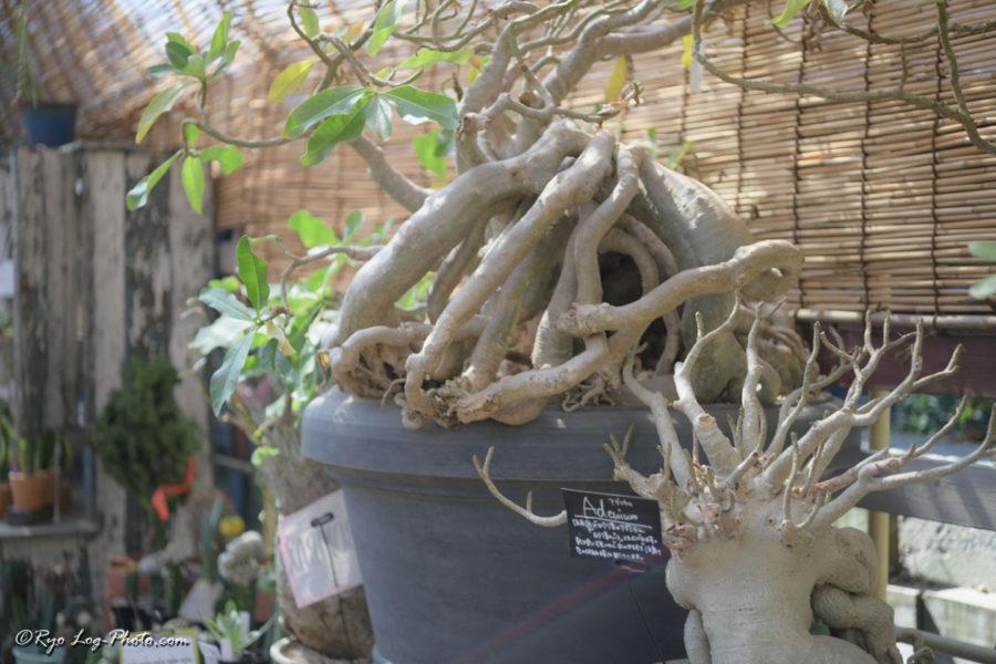 SOLSO FARM ソルソファーム サボテン 多肉植物
